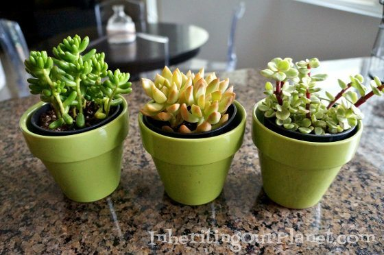 mini-succulent-plants-4