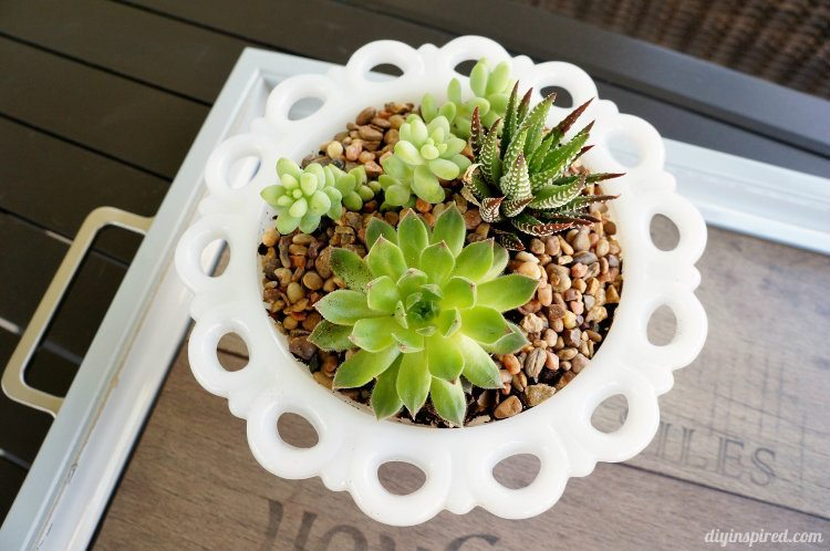 Planting Succulents in Thrift Store Milk Glass Vase