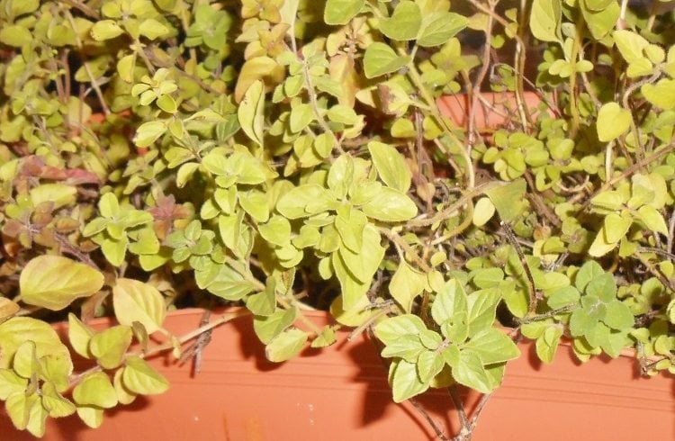 Protecting Your Herbs for Winter (2)