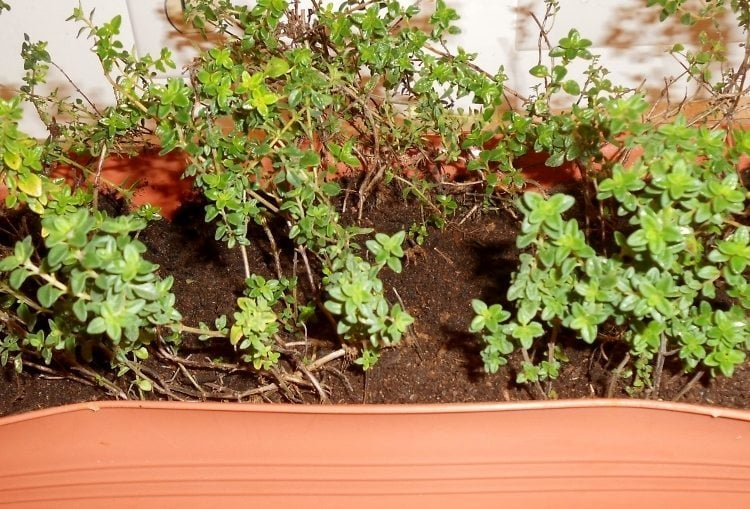 Protecting Your Herbs for Winter (5)