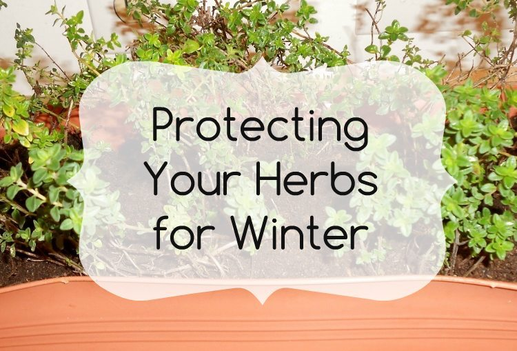 Protecting Your Herbs for Winter