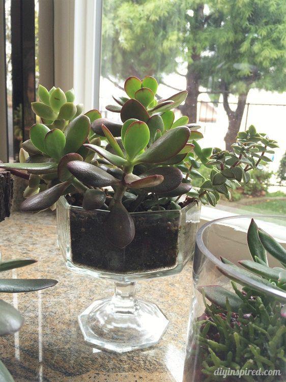 Replanting Succulents