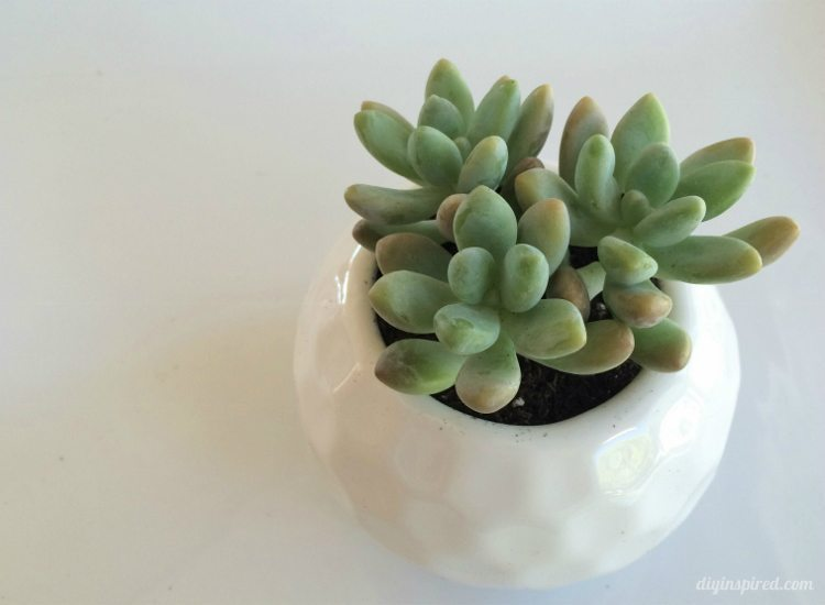 Succulents in White Vase