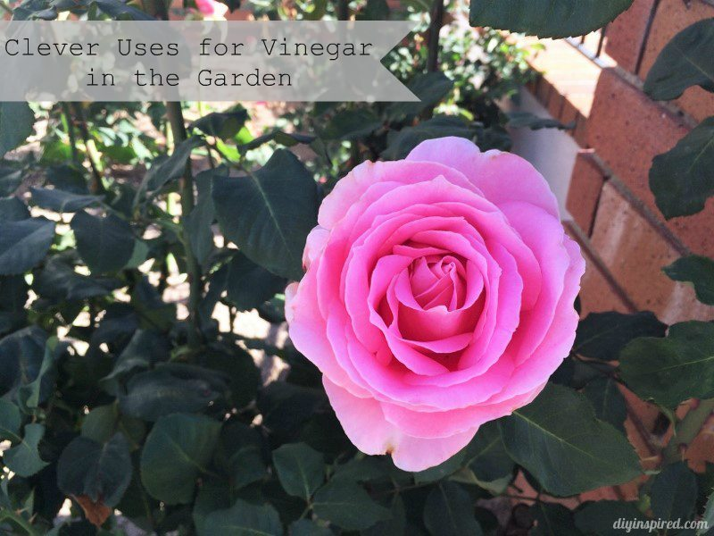 Clever Uses for Vinegar in the Garden