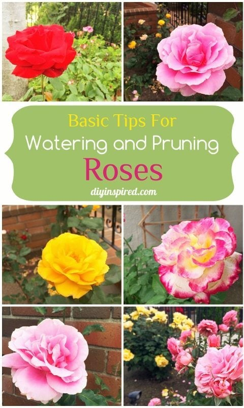 Basic Tips for Watering and Pruning Roses - DIY Inspired