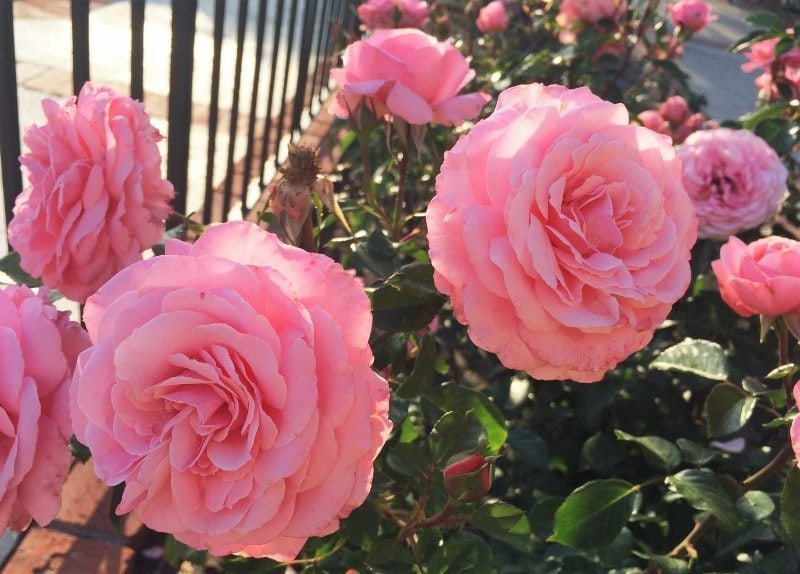 Basic Tips for Watering and Pruning Roses