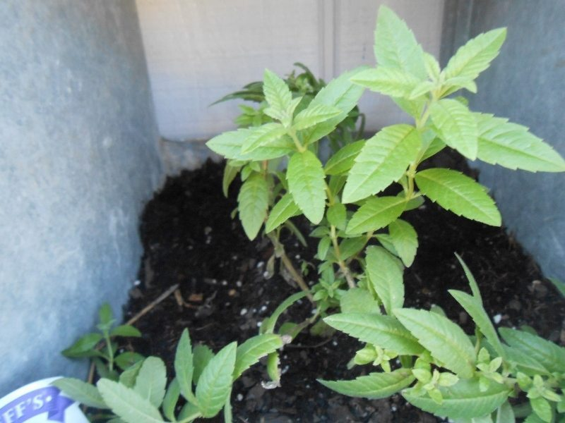 Growing Herbs Successfully - Herb of Grace