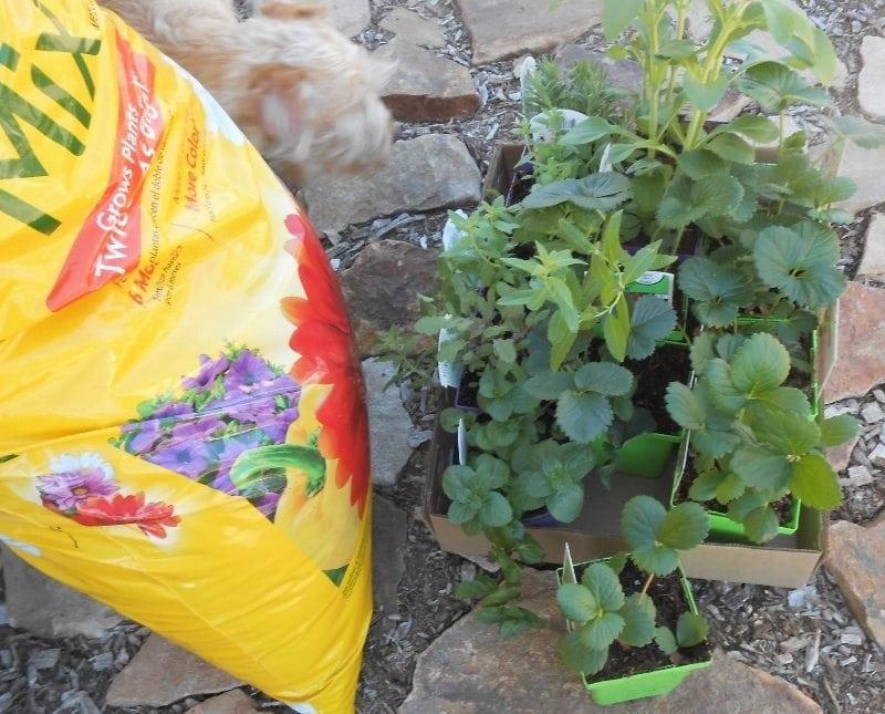 Growing Herbs Successfully -Planting Strawberries
