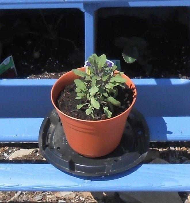 Growing Herbs Successfully - Purple Sage